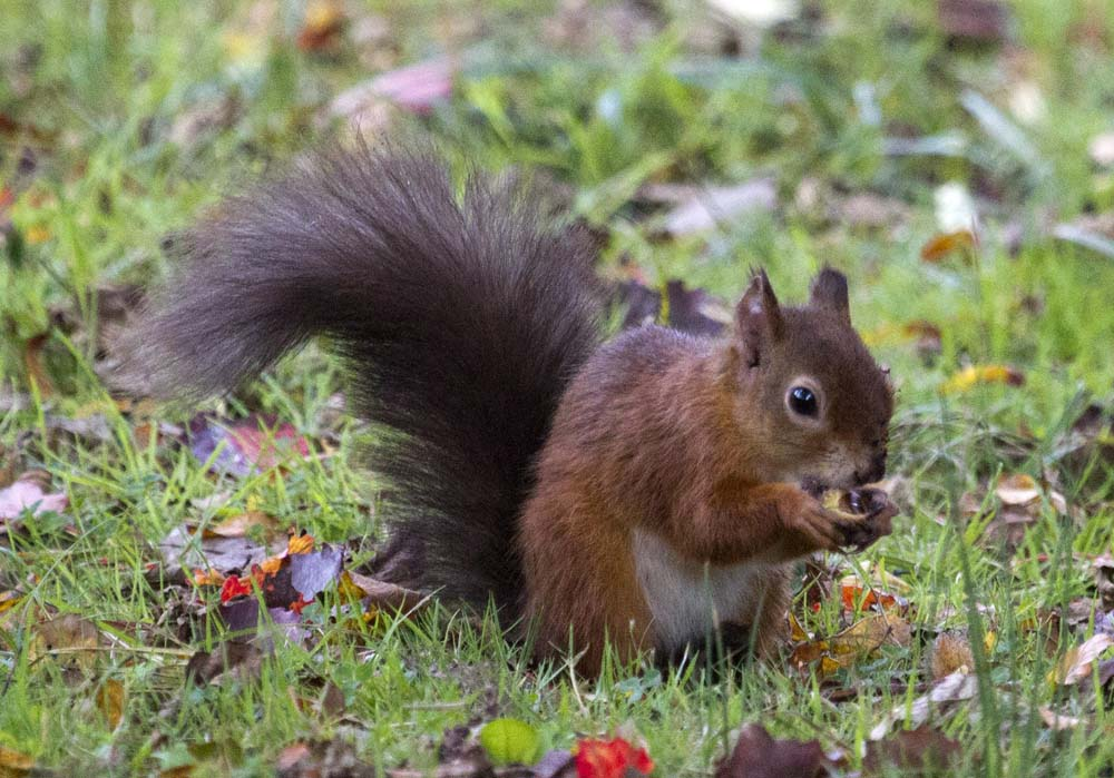 red squirrel at Brownsea Island